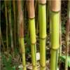 Bambusul devine unul dintre cele mai populare materiale ecologice